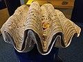 Tridacna gigas.101 - Aquarium Finisterrae.jpg