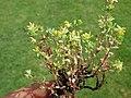 Trifolium dubium521.JPG