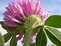 Trifolium pratense (5155175930).jpg
