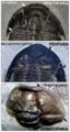 Trilobite facial sutures.png