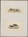 Tringa australis - 1700-1880 - Print - Iconographia Zoologica - Special Collections University of Amsterdam - UBA01 IZ17400253.tif