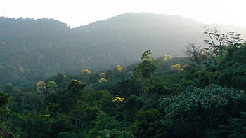 Blooming Yellow Poui trees dot in the Northern Range of Trinidad