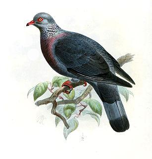 Trocaz pigeon species of bird