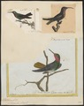 Trochilus rubineus - 1700-1880 - Print - Iconographia Zoologica - Special Collections University of Amsterdam - UBA01 IZ19100335.tif