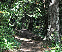 An unpaved path runs through a sun-dappled forest. Ferns and other understory plants grow thickly on both sides of the path, beneath trees. Along the right edge of the path are three trees, separated from one another by about 30 feet (9.1 m), with trunks of about 2 feet (0.6 m) in diameter. Only the bottom few feet of the trunks are visible.