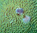 Tubeworms on healthy Brain Coral.jpg