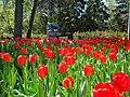 Tulip Festival in assiniboine park winnipeg manitoba canada 1 (8).JPG