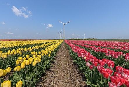 Tulip field near Grevenbroich-Kapellen