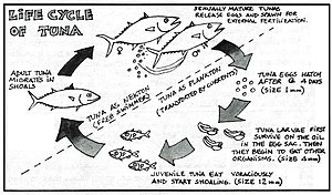 Tuna - Life cycle