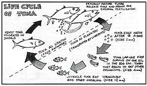 Tuna - Life cycle