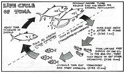 Tuna wikipedia for What do tuna fish eat