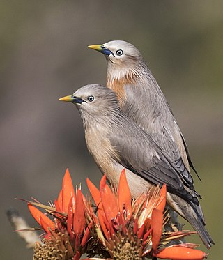 Twin of chestnut tailed starling.jpg