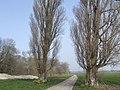 Two poplars - geograph.org.uk - 378027.jpg