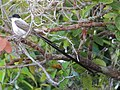 Tyrannus savana Sirirí tijeretón Fork-tailed Flycatcher (33211193736).jpg