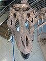 UCMP Trex skull dorsal.jpg