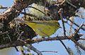 USFWS orangecrown warbler (23225337184).jpg