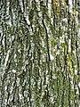 Ulmus 'Lobel' bark, 35-year-old tree, Southsea Common, England.jpg
