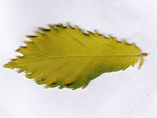 <i>Ulmus minor</i> Viminalis Aurea Elm cultivar