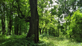 Ulmus glabra. Arboretum. Horki, Belarus.png