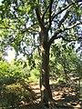 Ulmus parvifolia 'Frosty' - J. C. Raulston Arboretum - DSC06174.JPG