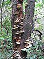 Uma árvore com fungos na Serra do Cipó.jpg