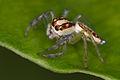 Unknown jumping spider (14515825241).jpg