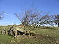 Uprooted tree - geograph.org.uk - 344280.jpg
