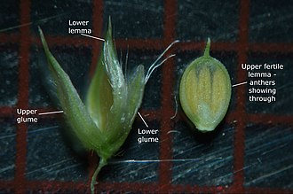 Glume - Upper and lower glumes of Urochloa mosambicensis, a grass