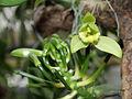 Vanilla planifolia-IMG 2125.jpg