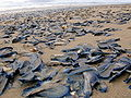 Velella on beach.jpg