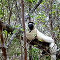 Verreaux's Sifaka Kirindy Forest Madagascar - panoramio.jpg