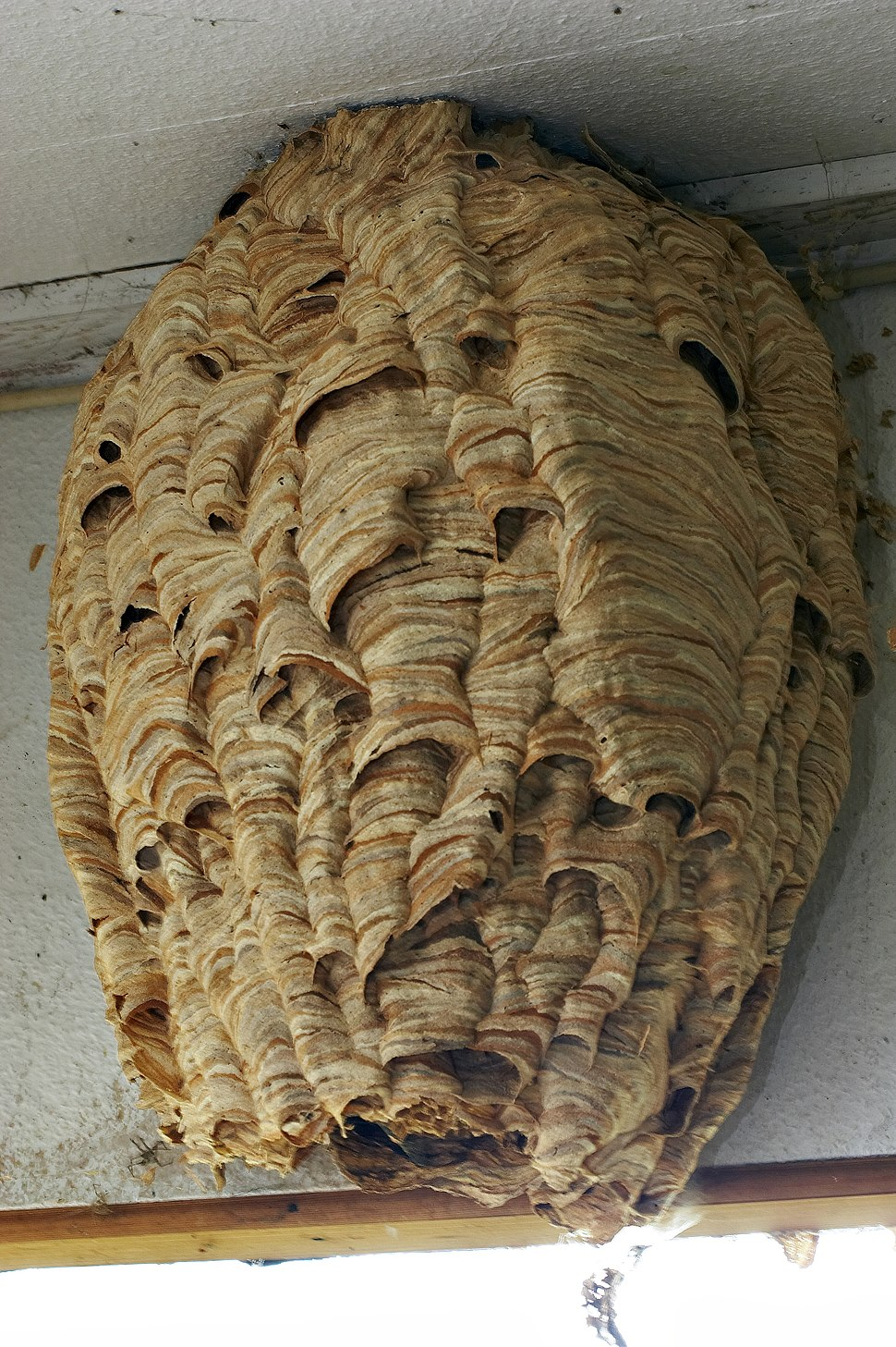 Vespa crabro nest full