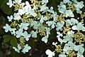 Viburnum plicatum Mariesii C.jpg
