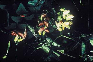 <i>Vicia menziesii</i> species of plant
