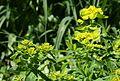Vielfarbige Wolfsmilch (Euphorbia epithymoides) (8995990286).jpg