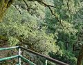 View from cliffside scaffold of trees in Castle Rock State Park.JPG
