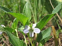 Viola persicifolia inflorescence (02).jpg