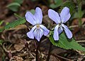 Viola vaginata (flower s2).jpg