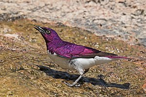 Violet-backed starling (Cinnyricinclus leucogaster verreauxi) male.jpg