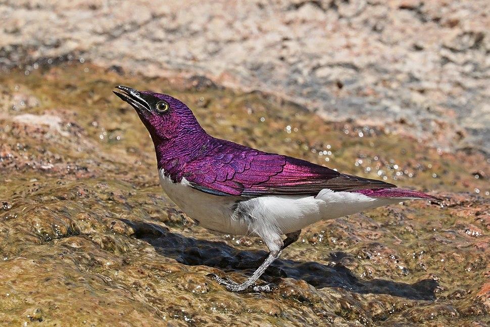 Violet-backed starling (Cinnyricinclus leucogaster verreauxi) male