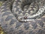 Die Kreuzotter (Vipera berus) ist in Mitteleuropa die häufigste Giftschlange.