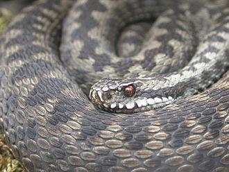 Keeled scales - Image: Viperaberus 1