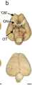 Visual processing areas of the Kiwi brain.png