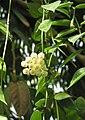 Wachsblume (Hoya lacunosa) 1.jpg