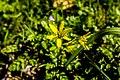 Wald-Gelbstern bei Limbach.jpg