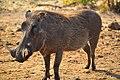 Warthog Wild.jpg