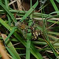 Wasp spider action (14525997707).jpg