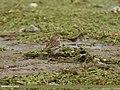 Water Pipit (Anthus spinoletta) (32425030780).jpg