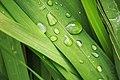 Water droplet in grass - Gota de auga na herba - 05.jpg