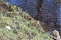 Watersnip - Common snipe (14319919205).jpg
